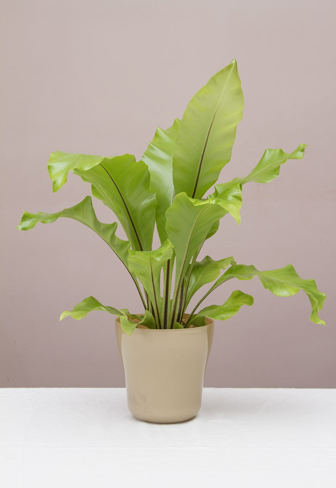 An image of a Bird's Nest Fern on a white table.