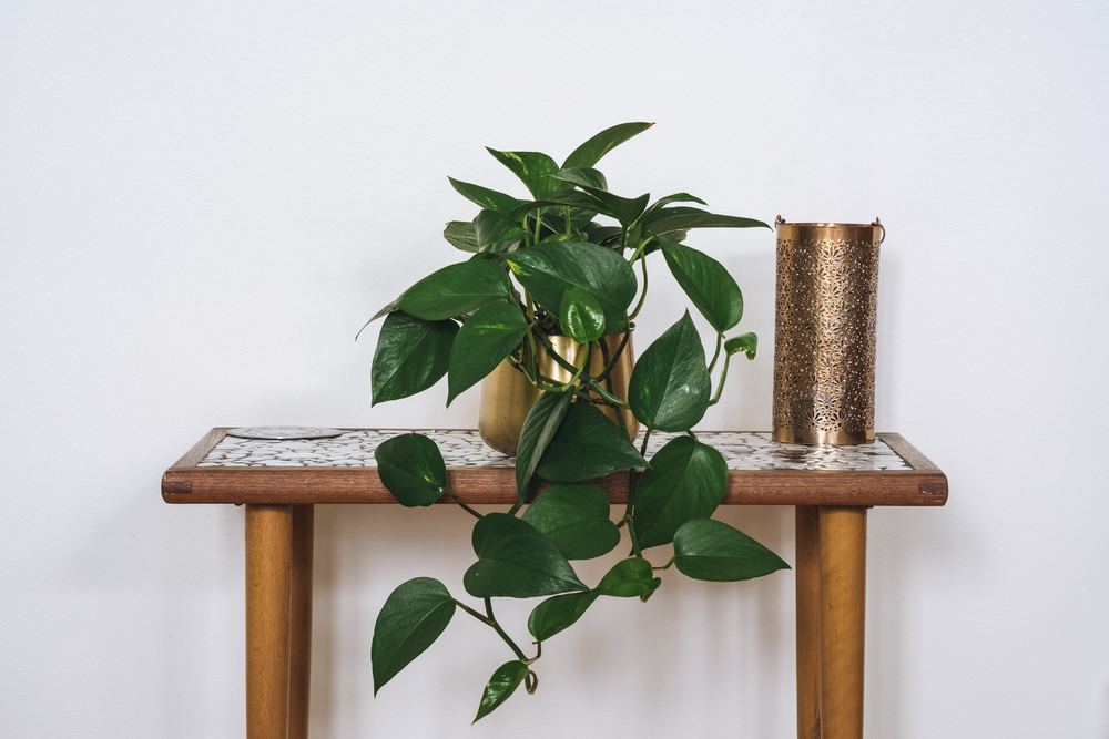 An image of Devil's Ivy on a small table next to a candle holder.