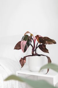 A Pink Princess plant on a bedside table.