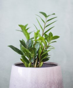 A ZZ Plant in a pink pot against a grey wall.